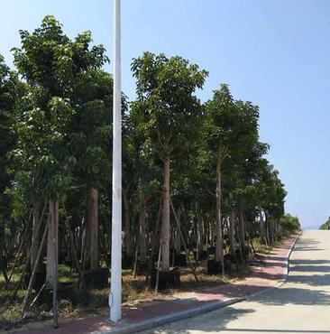 漳州基地直销 园林景观工程供应 大量批发秋枫 冠幅漂亮 规格齐全