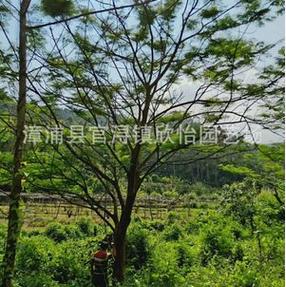 福建优质凤凰木、(红花楹)专业批发各种规格公分凤凰木