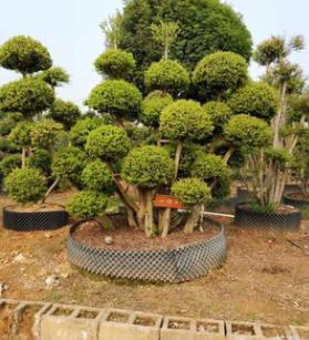 大量供应小叶赤楠 造型树 盆景