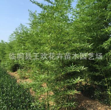 园林工程竹子 竹子苗 竹子 刚竹青竹庭院围墙绿篱风景竹类植物