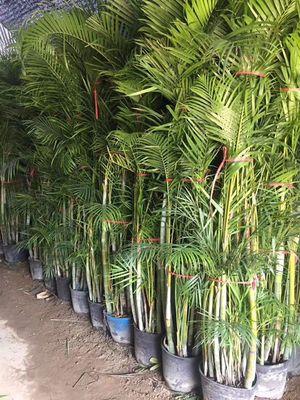 红枫,苗木基地自产自销,价格优惠,成活率高,园林工程绿植