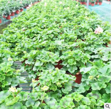四季开花 重瓣 天竺葵花苗 室内桌面盆栽 阳台花卉植物 园林苗木