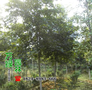 江苏宿迁北美枫香