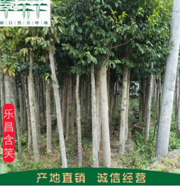 湖南桂东产地批发绿化苗木 深山含笑 乐昌含笑 品种齐全