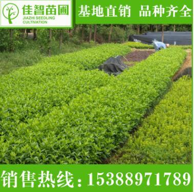 长期供应园林绿化苗木灌木球大叶栀子 工程园林绿化苗木大叶栀子