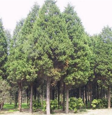 绿化工程 松树小苗 扫墓松 各种规格