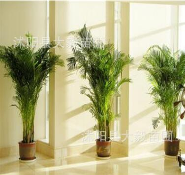 室内大型盆栽 散尾葵 净化空气常青