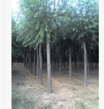 最新产地旱柳树价格 平头旱柳厂家批发报价河北旱柳苗价格