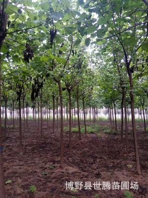 保定苗圃各种规格梓树批发 基地发货 可签合同