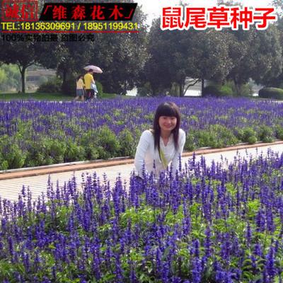 蓝花鼠尾草种子 兰花鼠尾草种子 蓝色花卉种子 多年生观赏