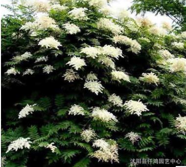 批发丛生珍珠梅 夏季观花植物又名雪梅 工程园林观花植物