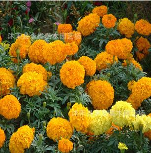 花卉种子 香万寿菊种子 南非万寿菊 菊花种子 阳台种植 盆栽花卉