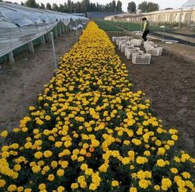 禾易农业孔雀草万寿菊红黄上市花海品种全一站式采购