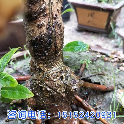 腊梅腊梅树苗 腊梅盆景 素心腊梅 盆栽嫁接腊梅花冬季开花植物