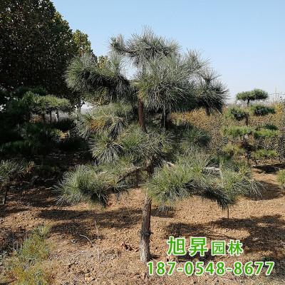 山东造型景松 可庭院盆栽 修型美观市政园林绿化造型松 价格合理