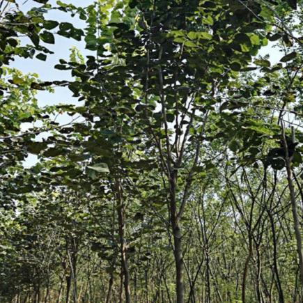 巨紫荆 鄢陵豪绿园林基地销各种规格巨紫荆 价格优惠