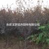 安徽合肥长丰县红叶李3-15cm大量供应