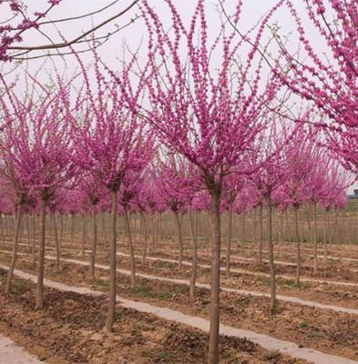 专业种植绿化巨紫荆树 行道树巨紫荆 大紫荆 紫荆可批发