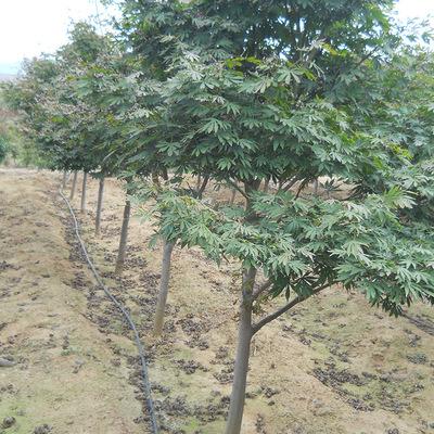 专业供应 日本红枫 耐寒红枫工程绿化树 乔木树 丛生红枫