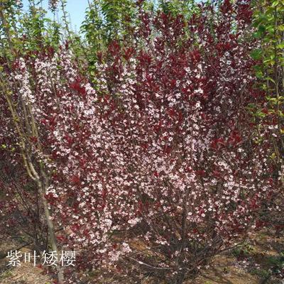 专业种植供应绿化工程紫叶矮樱 丛生大紫叶李矮樱小区别墅绿化