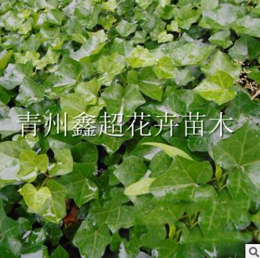 常绿攀援常春藤 垂直绿化长春藤小苗 山东青州苗木基地
