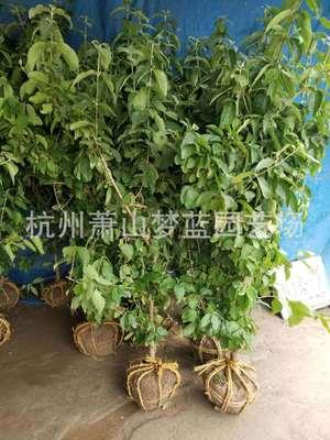 木绣球 木本绣球 1-10公分 庭院 花境 绿化 工程 用苗 萧山直销