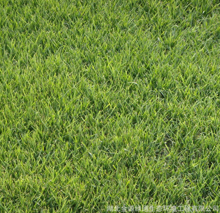 公路边坡绿化草种 高羊茅 建植迅速 矮生型 绿期长