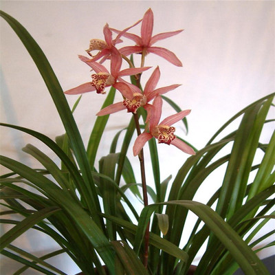 批发兰花室内盆栽 高档花卉 净化空气 防辐射 量大价格优惠