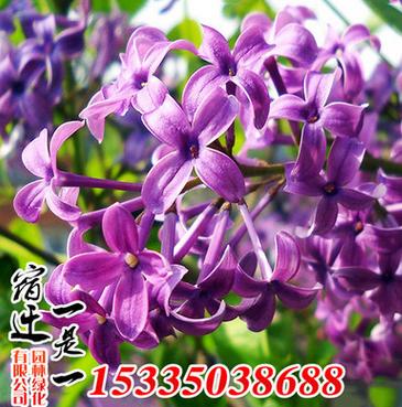 优质丁香树种植基地直销 丛生紫丁香 嫁接丁香 行道树 规格齐全