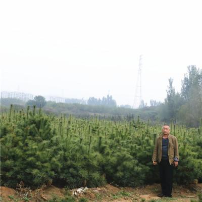 华山松移栽种植注意事项 华山松价格合理 泰安华山松基地大量销售