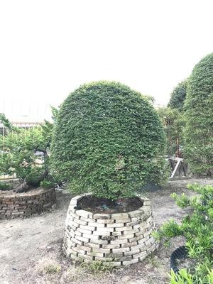 厂家直销 台湾紫檀 造型紫檀 球型紫檀 紫檀盆景 台湾罗汉松