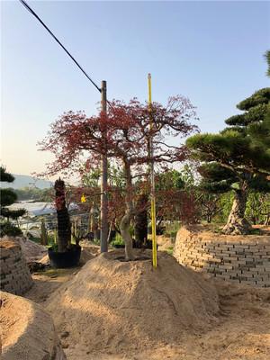 批发 日本羽毛枫别墅庭院造型(日本红枫、美国红枫等)特殊造型