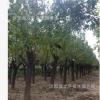 大量供应绿化苗木 红绿梅 规格齐全 量大优惠