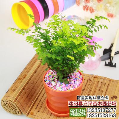 办公室内客厅盆栽观花植物 铁线蕨 桌面盆栽 四季常青 易种植