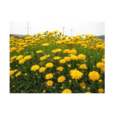 山东宿根草花金鸡菊供应基地青州金鸡菊批发价格