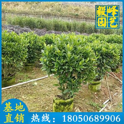 非洲茉莉球价格 高1M 绿化工程苗 移植苗
