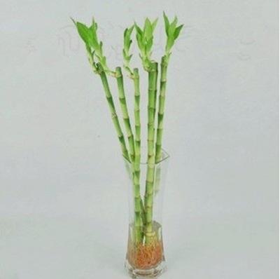 室内桌面水养植物富贵竹水养荷花竹直竹 水培盆栽 富贵节节高