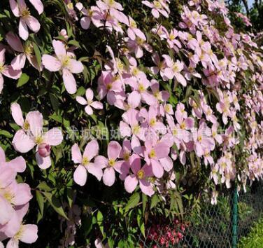批发出售进口铁线莲种根 批发藤本花卉皇后 盆栽攀援花卉