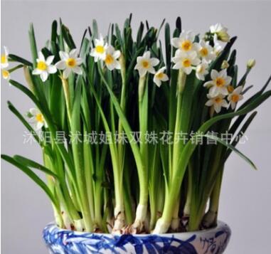 批发水仙 水仙花种球 绿植盆栽办公室水培植物 洋水仙