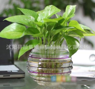 基地批发水培绿萝 绿萝苗盆栽花卉 客厅室内净化空气桌面盆栽
