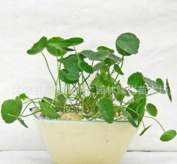盆栽室内花卉水培有氧植物铜钱草水培金钱草绿植水培植物