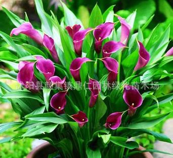 正品盆栽马蹄莲 彩色马蹄莲 马蹄莲种球 花卉种球 颜色齐全