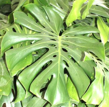 优质室内盆栽龟背竹净化空气量大优惠办公室绿化龟背竹