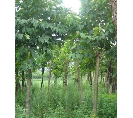 常年供应批发喜树 林木种子树苗成活率高品质保证量大优惠