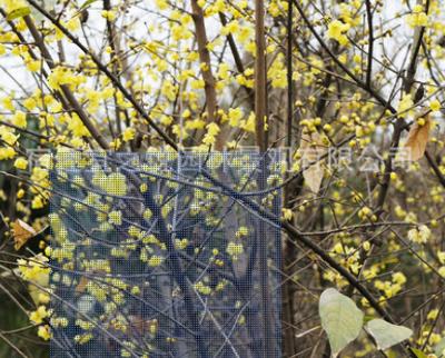 基地供应腊梅树苗 基地销售腊梅树 腊梅花苗 落叶灌木 梅花苗