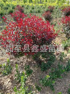 陕西苗圃直销紫叶矮樱球 西北园林风景树高杆紫叶矮樱