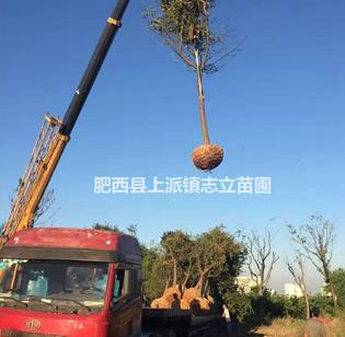安徽白榆、椿树、刺槐、杜梨、枫杨、构树、拐枣、黄连木大型苗木