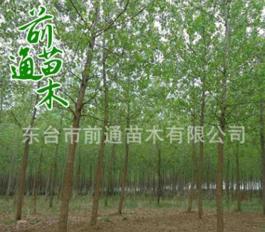 批发乔木 意杨 绿化工程用厂家直销 意杨苗木 道路绿化苗木