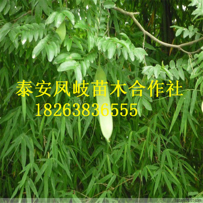 基地出售嫁接皂角树 优质产品 3-5公分皂角树 量大优惠
