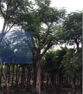 供应精品凤凰木树 红花楹树 多种规格绿化工程苗木直销